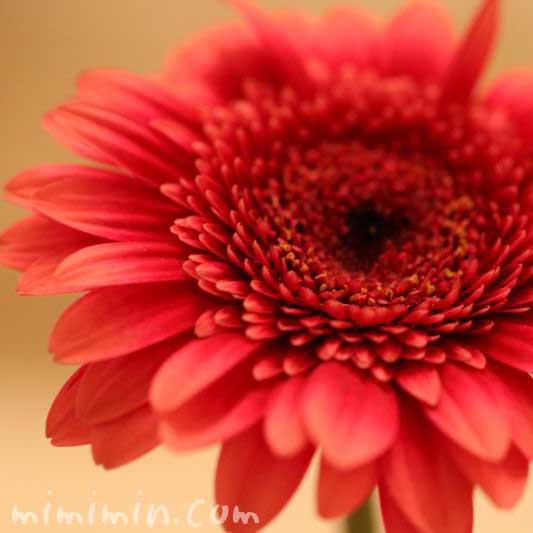 ガーベラの花言葉の画像