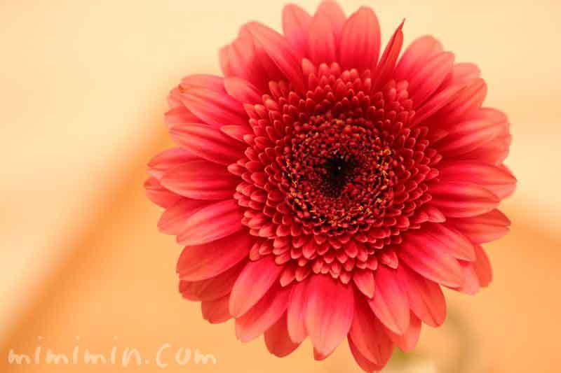 ガーベラの花・赤の写真