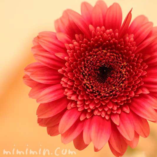 赤いガーベラの花の画像