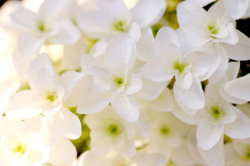 柏葉紫陽花の花言葉の画像