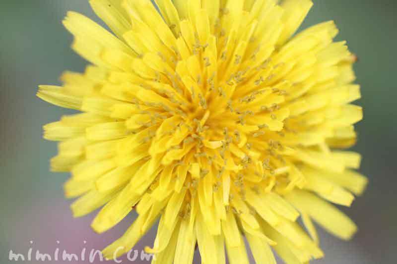 タンポポの花の画像