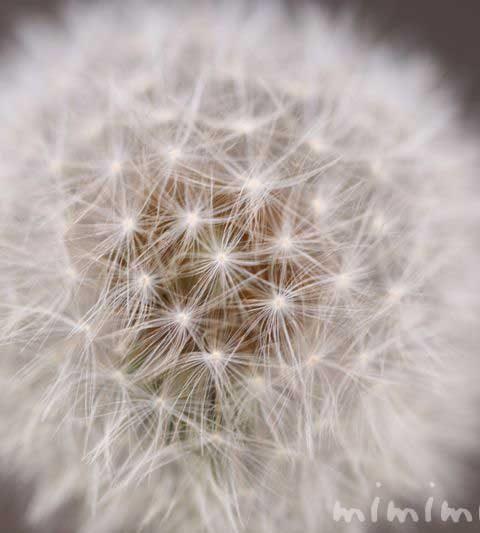 タンポポの綿毛の写真・タンポポの花言葉