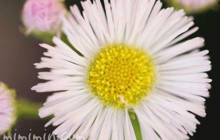 春紫苑の写真