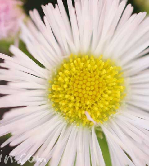 ハルジオン(春紫苑)の花の写真・花言葉・名前の由来