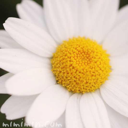 クリサンセマム・ノースポール 花言葉 誕生花の画像