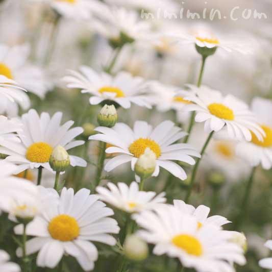 クリサンセマム・ノースポールの花の写真と花言葉