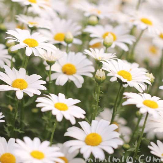 クリサンセマム・ノースポールの花の写真・花言葉の画像