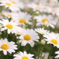 クリサンセマム・ノースポールの写真と花言葉の画像