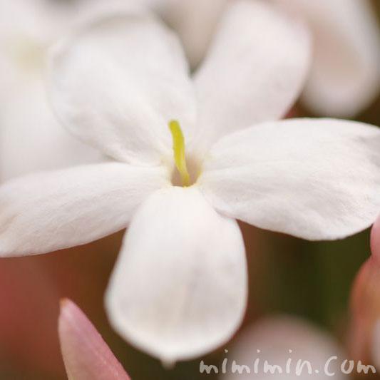 ハゴロモジャスミンの花の写真