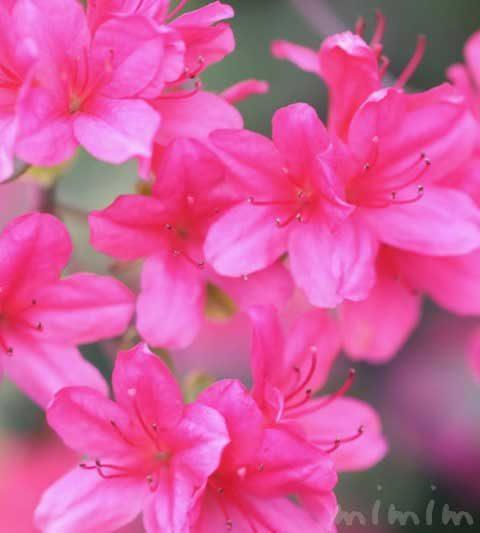 サツキ(皐月)の花言葉・誕生花・名前の由来