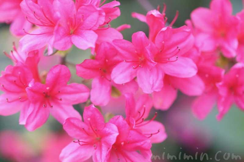 皐月の花の写真と花言葉の画像