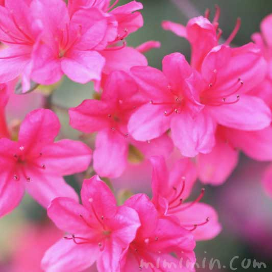 サツキの花の写真 花言葉の画像