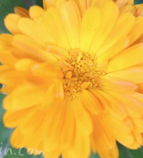 カレンデュラ(キンセンカ)の花の写真・花言葉・名前の由来