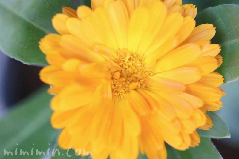 カレンデュラ(キンセンカ)の花の写真・花言葉の画像