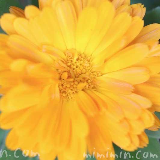 カレンデュラ(キンセンカ)の写真・花言葉の画像
