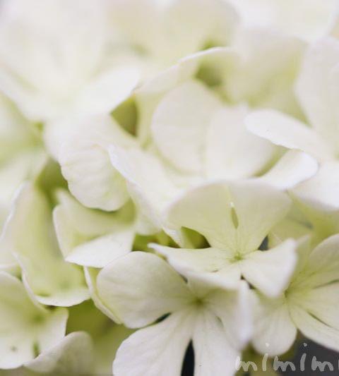 オオデマリ(大手鞠)の花の写真・花言葉・名前の由来