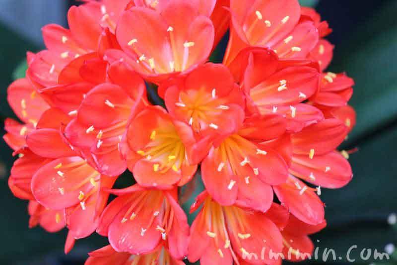 君子蘭の花の写真
