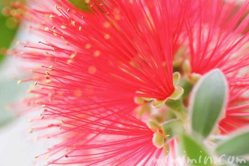ブラシノキの花の写真 花言葉の画像