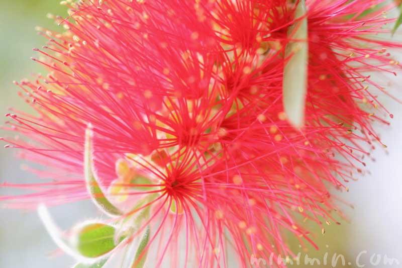 ブラシノキの写真 花言葉の画像