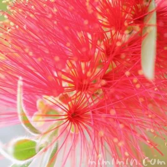 ブラシノキの写真と花言葉