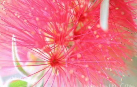 ブラシの木の写真と花言葉の画像