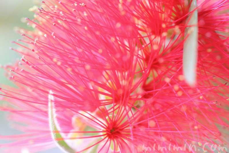 ブラシの木(ブラシノキ)の花の写真・花言葉の画像