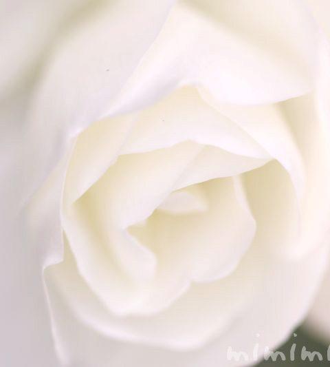 バラの香りの効果・効能|バラの色別・本数別の花言葉