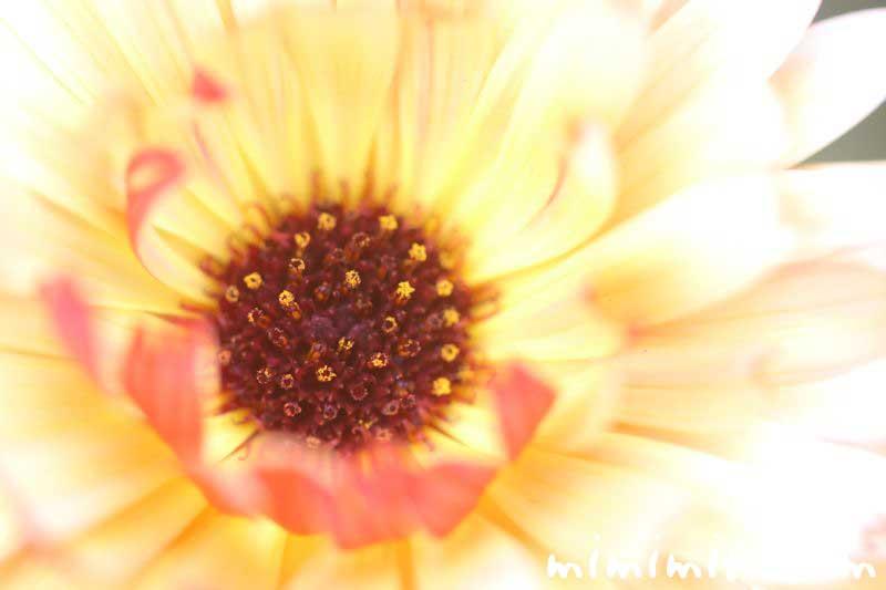 キンセンカ・黄色の写真