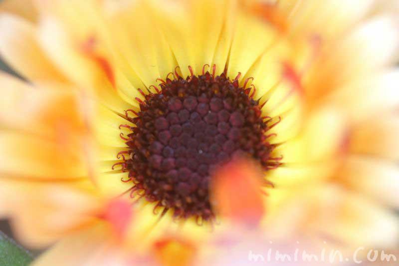 カレンデュラ・黄色の写真