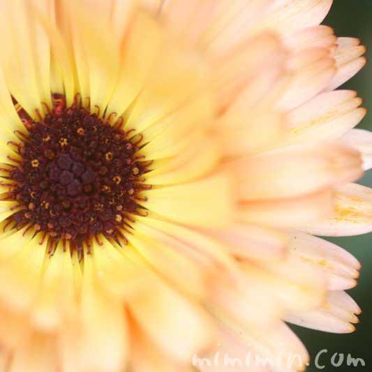 カレンデュラの花・コーヒークリームの写真