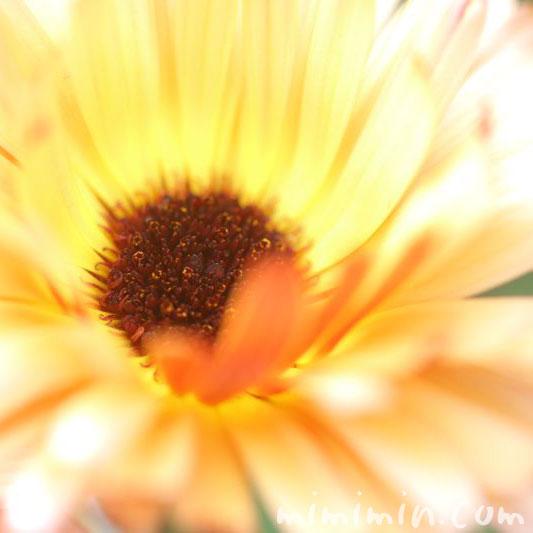 金盞花・黄色の画像