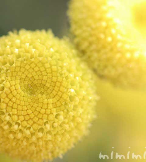 コツラ(ハナホタル・カゲロウソウ)の花の写真・花言葉