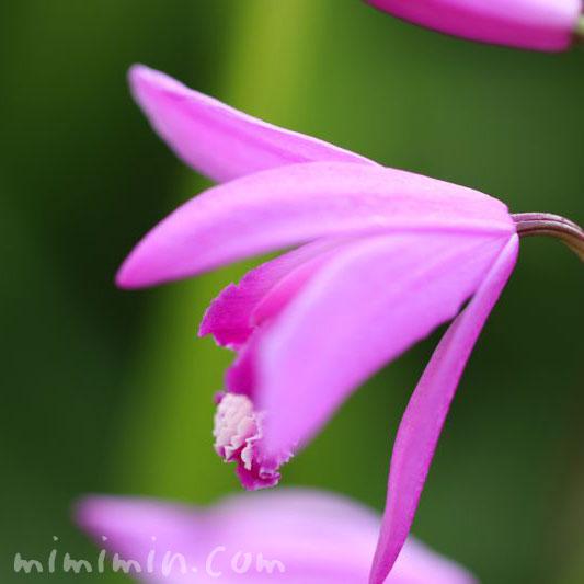 シラン・紫色の画像