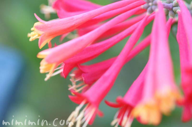 ツキヌキニンドウの花の写真