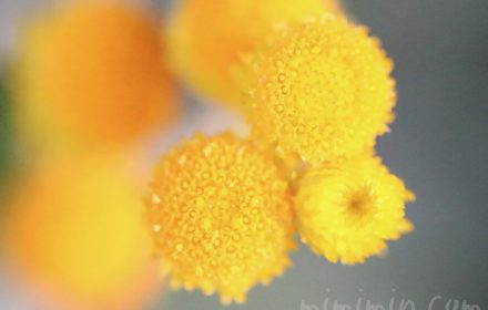 コツラの花の写真と花言葉