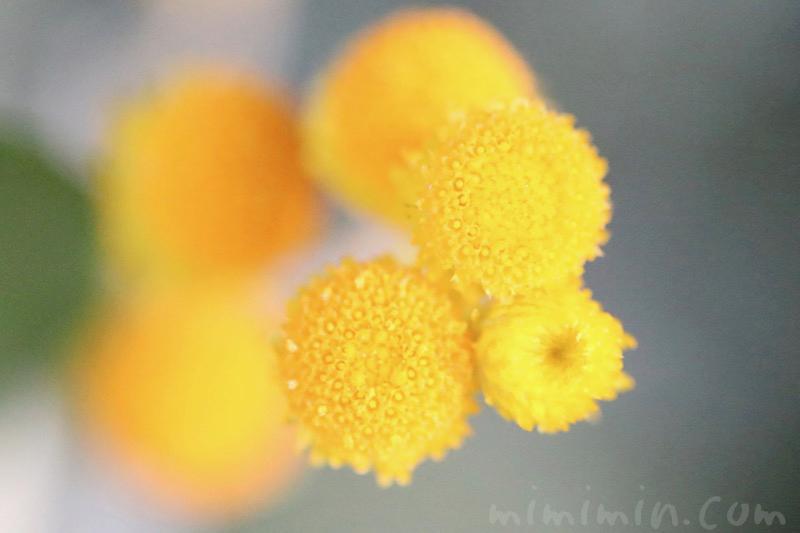 コツラの写真と花言葉の画像