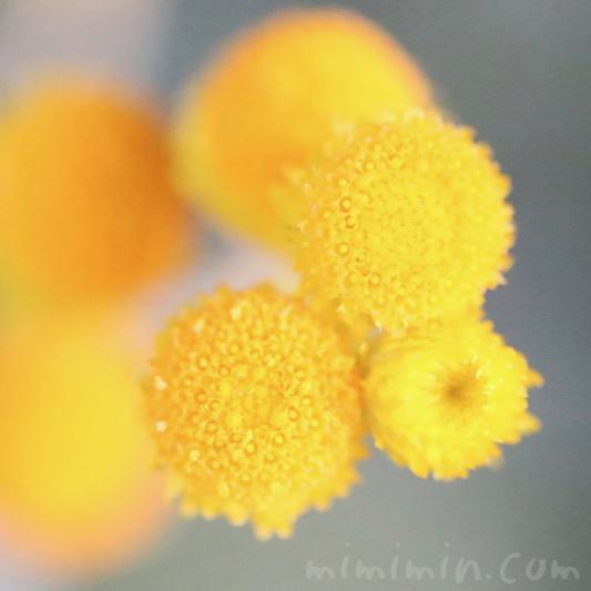コツラの花の写真・花言葉の画像