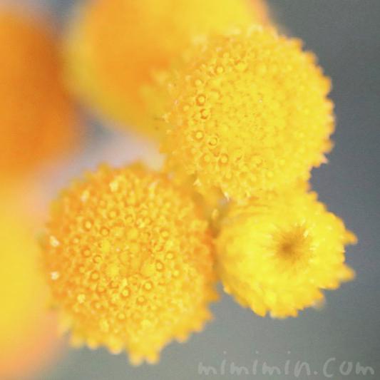コツラの写真 花言葉