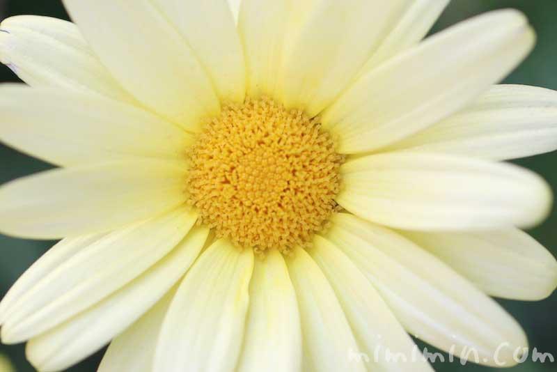 黄色のマーガレットの花言葉と誕生花