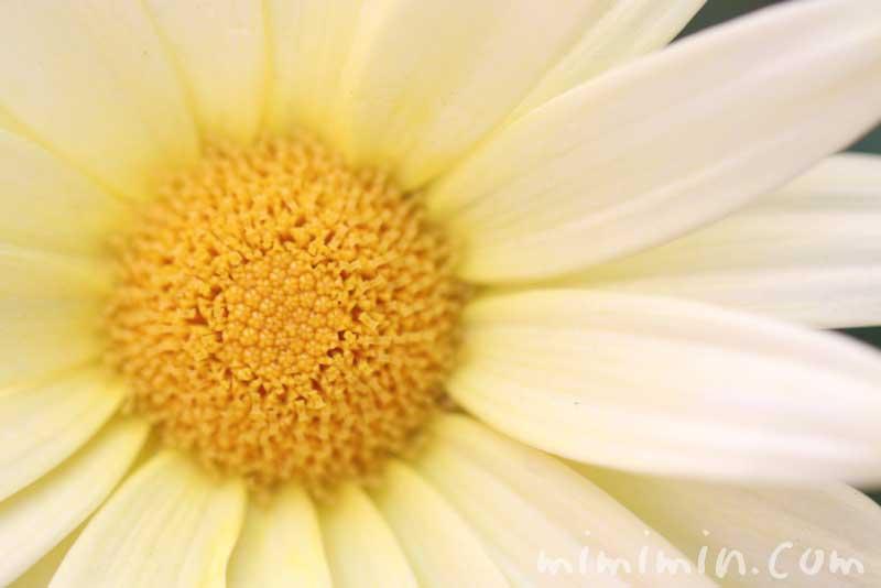マーガレット(黄色)の誕生花の画像