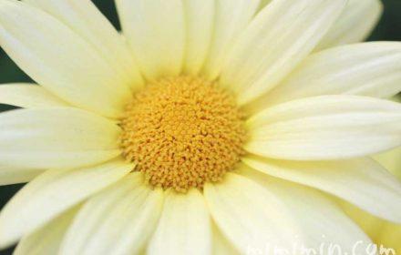黄色のマーガレッの誕生花