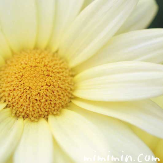 黄色いマーガレットの写真と花言葉