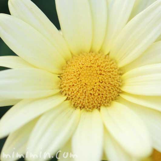 黄色のマーガレッの花の写真と花言葉