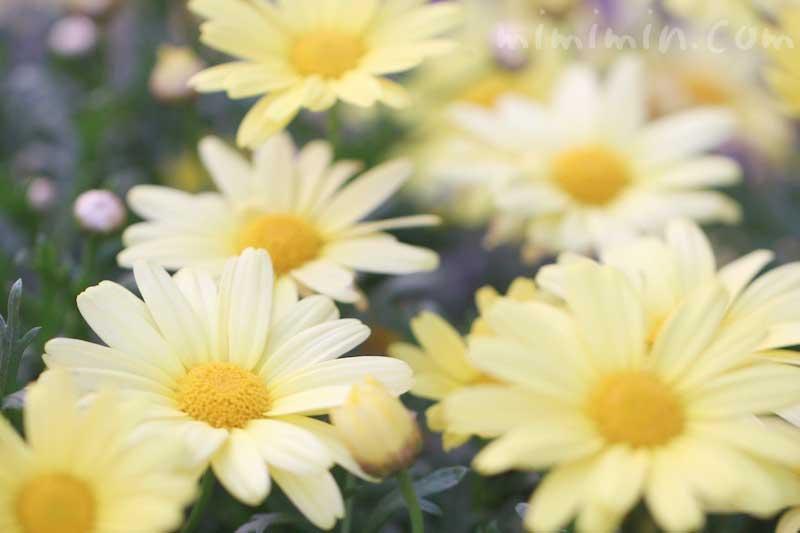 マーガレット(黄色)の花言葉の画像