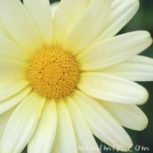 黄色のマーガレットの花言葉