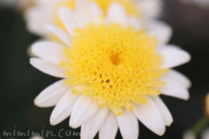 丁字咲きのマーガレットの写真&花言葉の画像