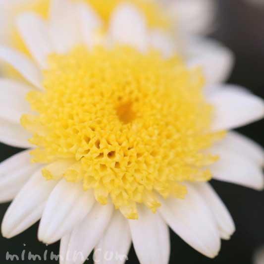 丁子咲きのマーガレットの花の写真&花言葉の画像