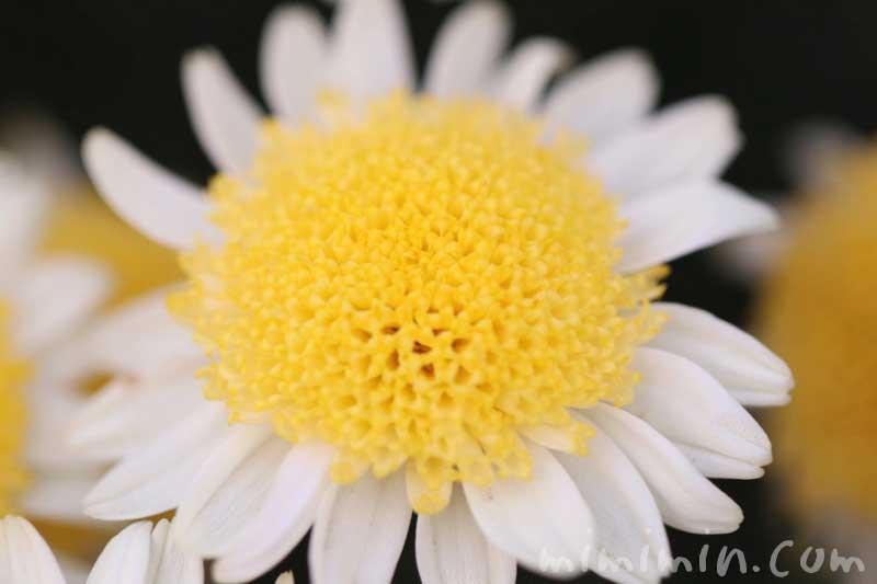 丁字咲きのマーガレットの花の写真と花言葉