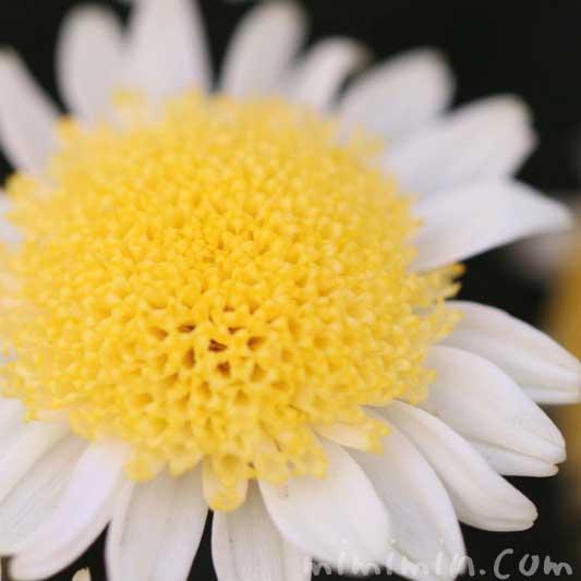 丁子咲きのマーガレットの写真&花言葉の画像