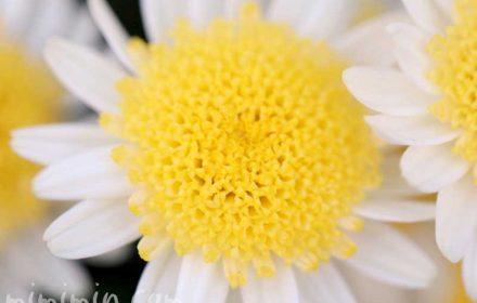 丁字咲きのマーガレットの花の写真&花言葉の画像